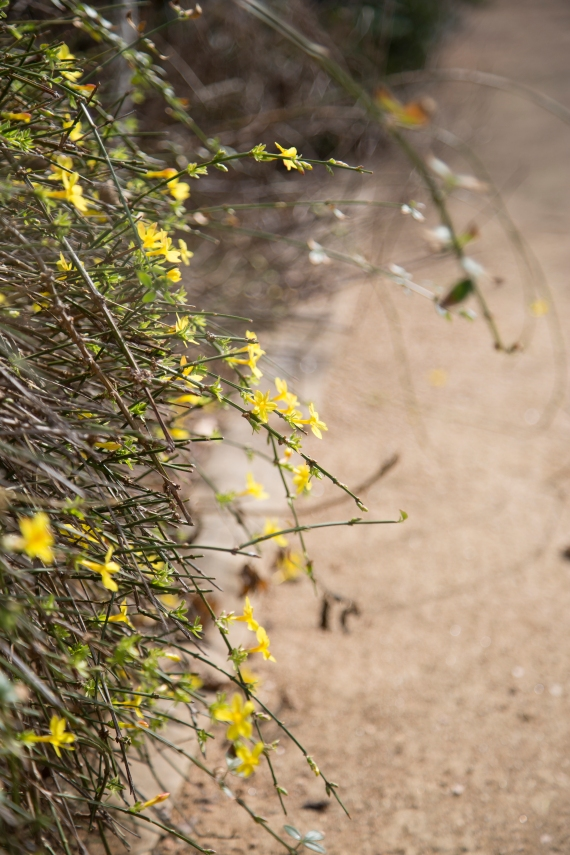 Forsythia - another early bloomer!